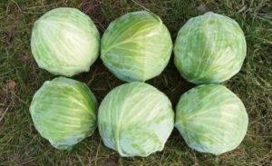 Выращивание капусты вьюга: агротехника, плюсы и минусы