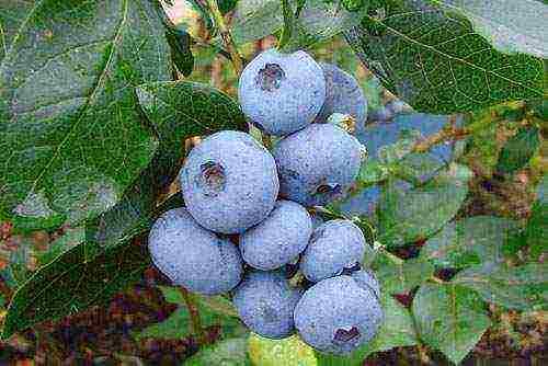 Голубика блюджей (блю джей, bluejay): описание сорта, фото, отзывы
