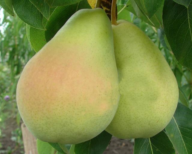 Пожалуй, один из самых красивых и ярких сортов — груша «ника»!