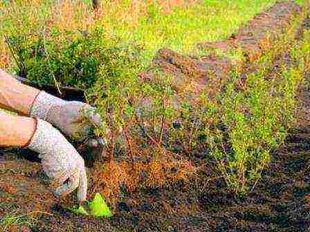 Самшиты (101 фото): посадка и уход за деревом в открытом грунте, описание кустарника самшит колхидский. как выглядит и как быстро растет растение букс? болезни и стрижка куста