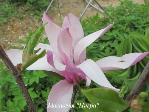 Магнолия лилиецветная Нигра (Nigra): посадка и уход
