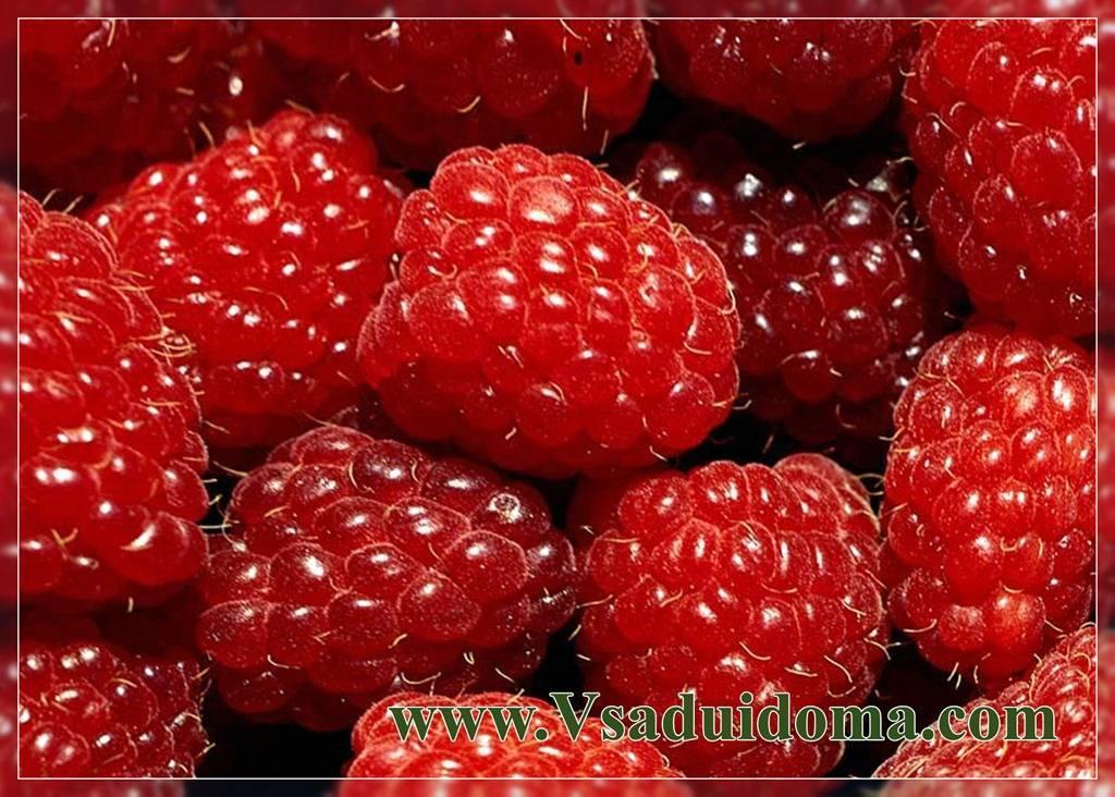 Описание и характеристика сорта малины рубиновый гигант