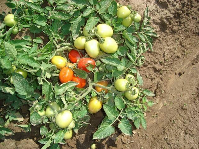 Челнок —томатный дипломат
