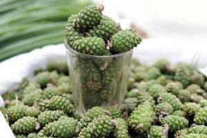 Сосновые шишки — лечебные свойства настойки на водке