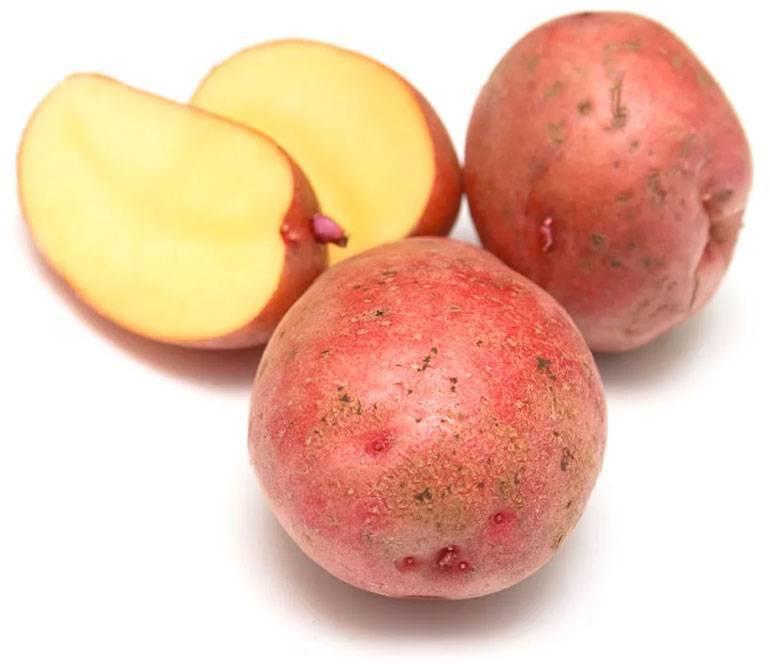 Сорт картофеля «розара»: характеристика, описание, урожайность, отзывы и фото