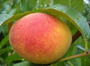 Персик эрли ред — описание сорта и отзывы садоводов