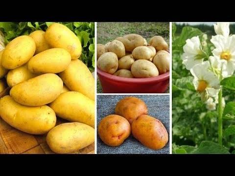 Картофель сорта жуковский: ранний урожай на вашей грядке