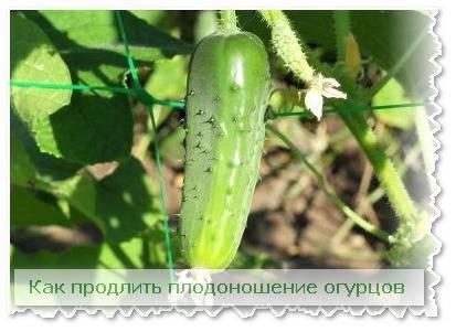 Плодоношение огурцов: средние сроки, как приблизить и увеличить срок плодоношения, эффективные способы, условия выращивания, советы по уходу