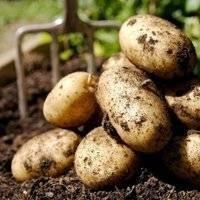 """Сорт картофеля """"голландка"""": подробное описание, характеристика видов  и фото"""