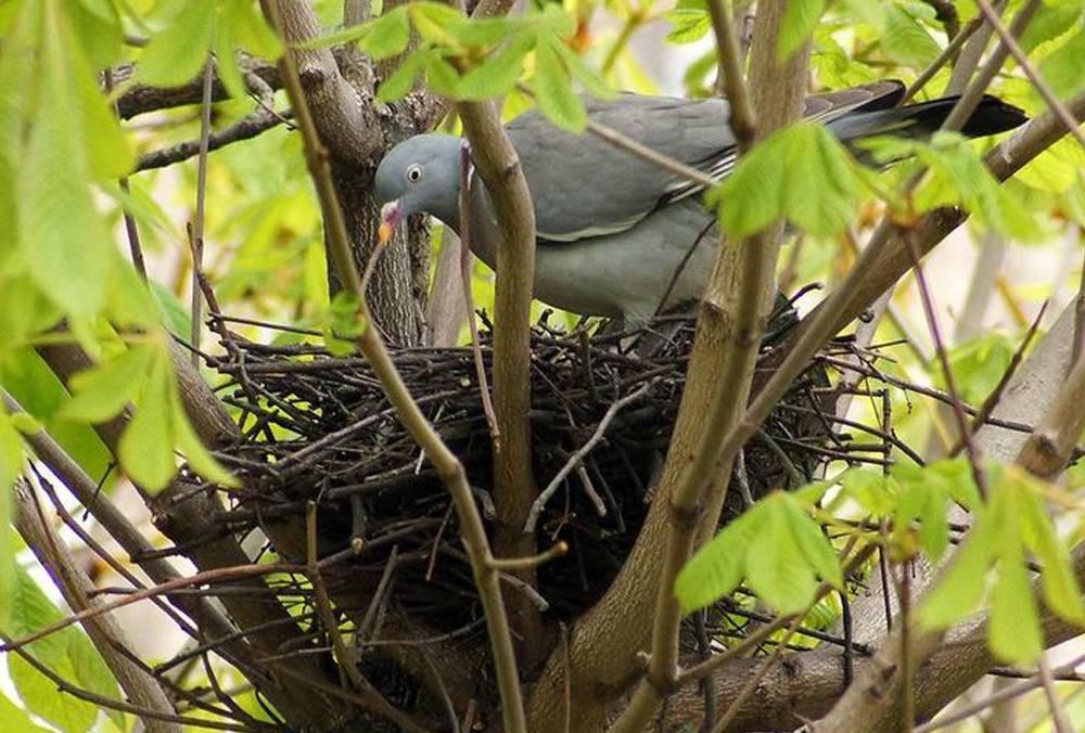 Как выглядит птица вяхирь и где обитает