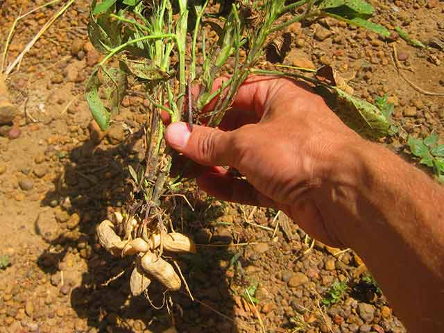 Как выращивать арахис на огороде: нюансы агротехники