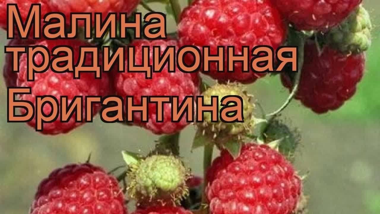 Малина сорт татьяна
