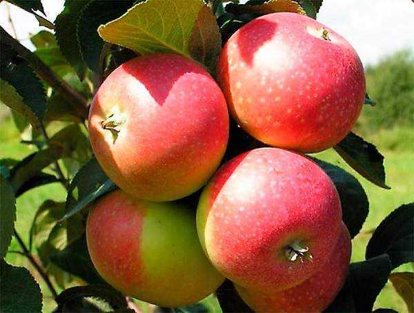 Яблоня елена: описание и фото, характеристики и особенности выращивания