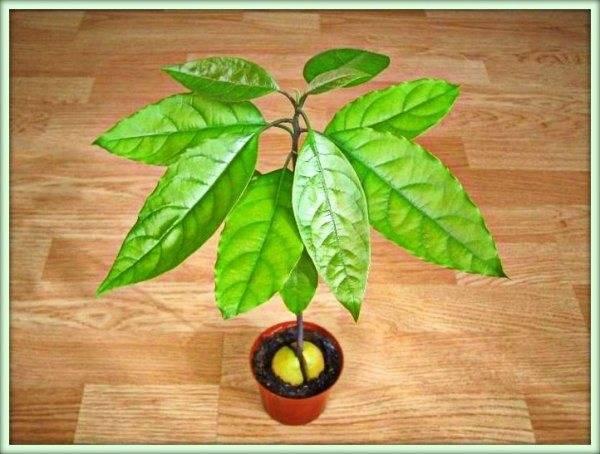 Почему у авокадо сохнут листья и чернеют в домашних условиях