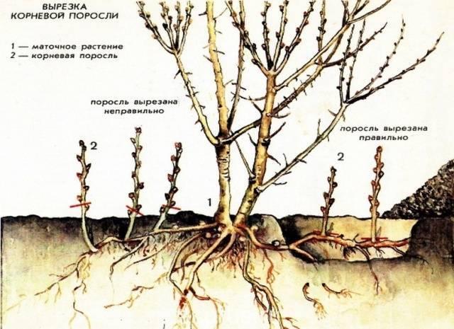 Выращивание облепихи (размножение, посадка, уход, формировка и обрезка) | образцовая усадьба