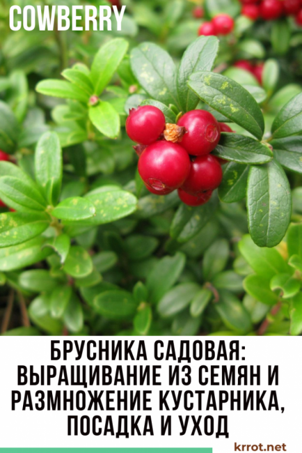 Где растет брусника в россии и во всем мире