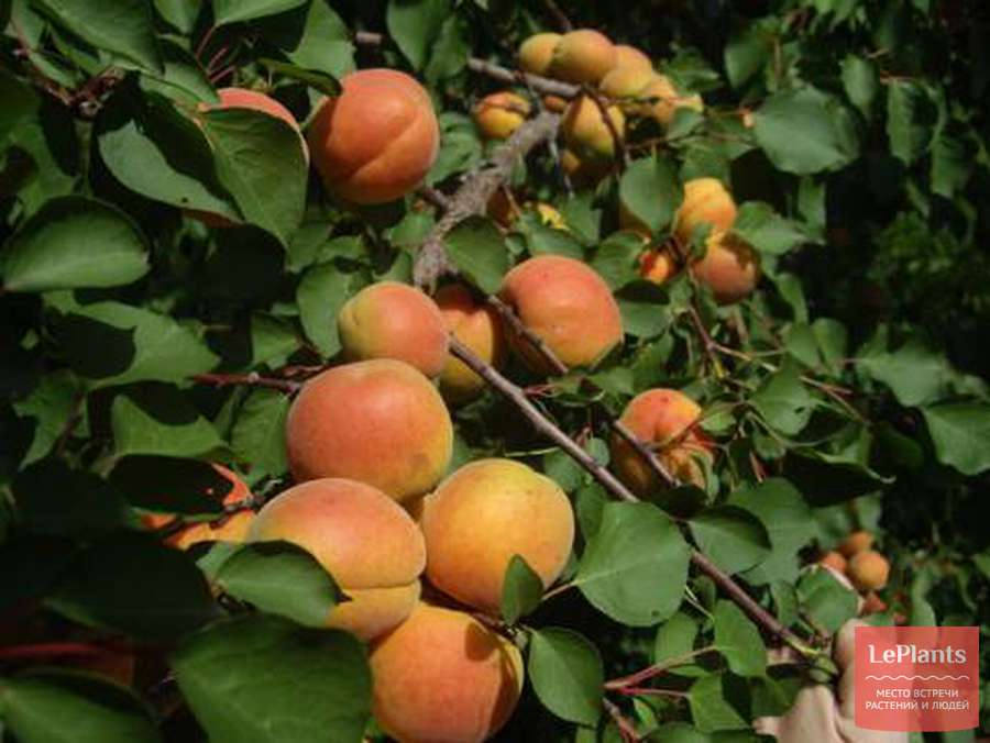 Абрикос краснощекий: описание сорта, правила выращивания, уход за деревом!