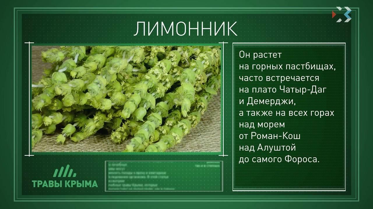 Трава лимонник крымский полезные свойства