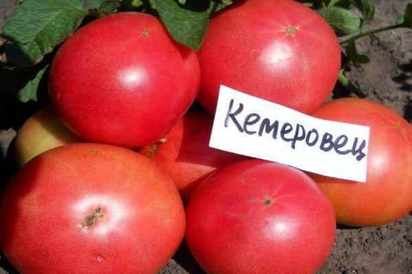Сорт, которым вы точно останетесь довольны — томат «кемеровец» и секреты правильного ухода за ним
