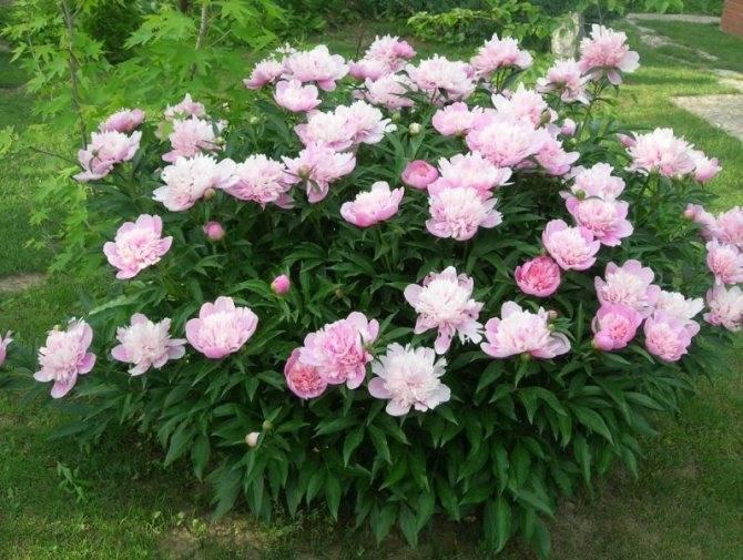 Подкормка пионов весной. 8 вариантов, чем подкормить пионы весной.