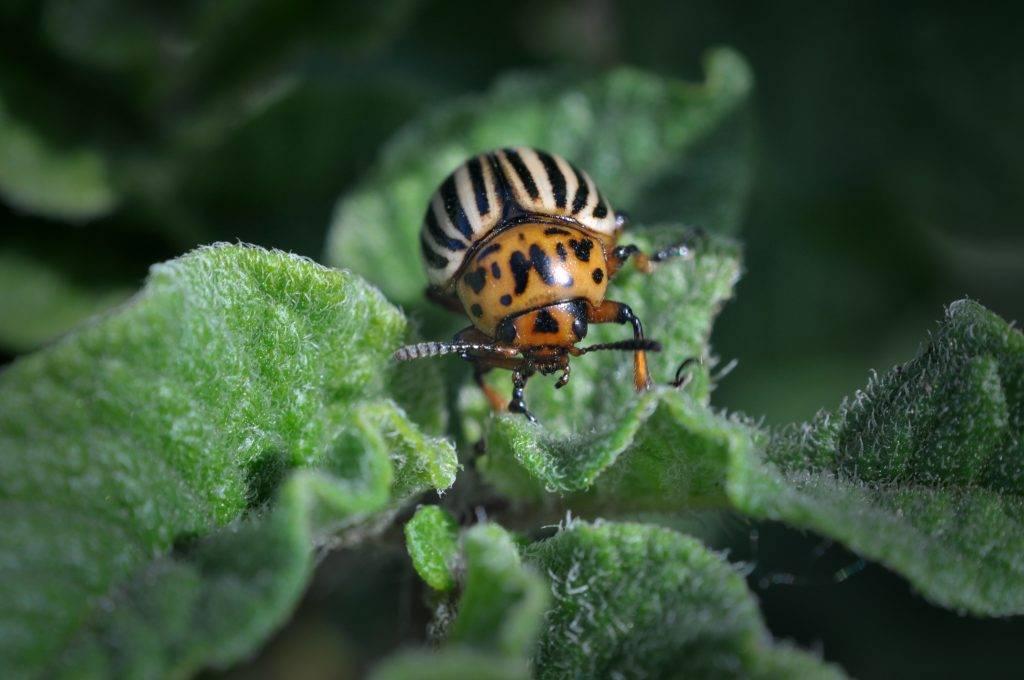 Средство против колорадских жуков – жукоед ск