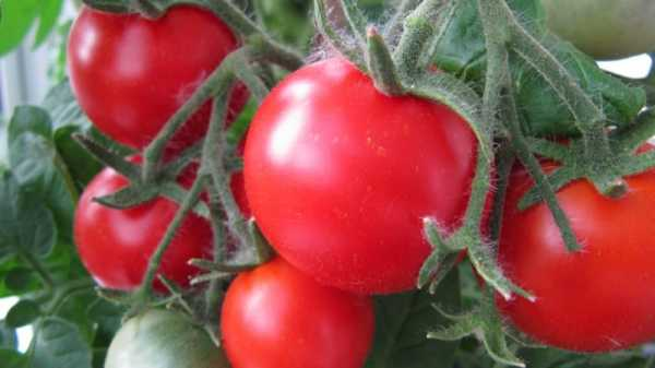 Как вырастить помидоры на балконе: инструкция по выращиванию томатов в домашних условиях