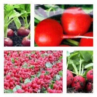Редис – выращивание и уход в открытом грунте и домашних условиях