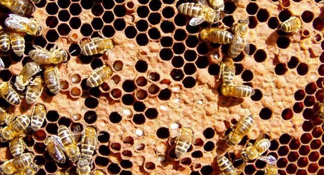 Аскосфероз пчел или болезнь известкового (каменного) расплода