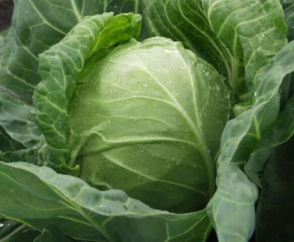 Семена каких сортов капусты брокколи выбрать? лучшие виды для выращивания в сибири и других регионах