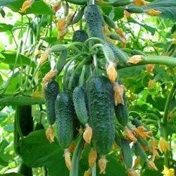 Огурцы букетного типа: перечень сортов и специфика выращивания