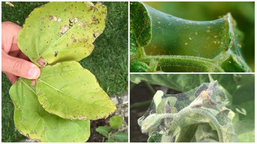 Признаки появления паутинного клеща на баклажанах и способы избавления от паразита