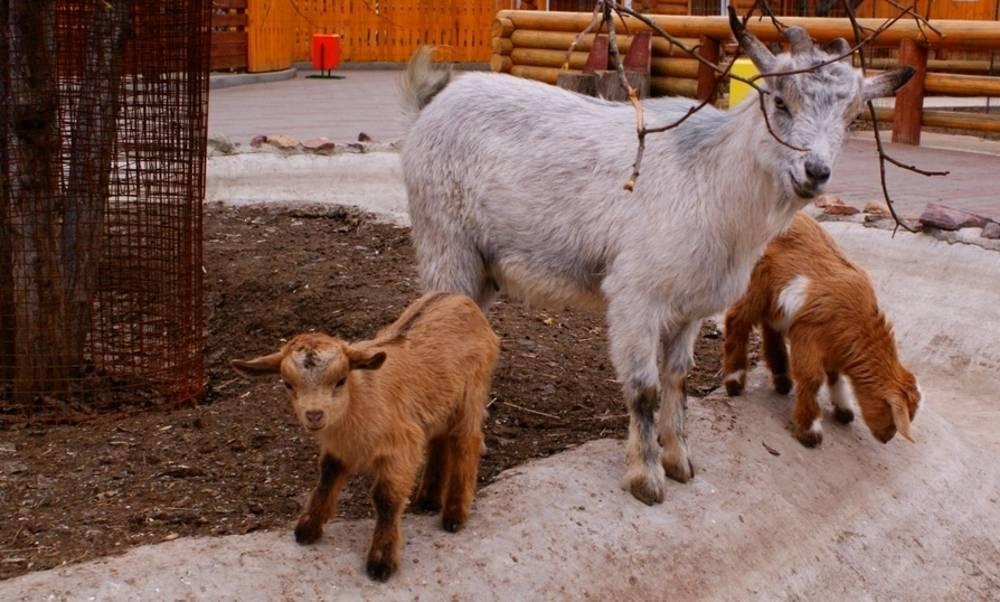 Камерунские козы: описание породы с фото, содержание, кормление, разведение, плюсы и минусы