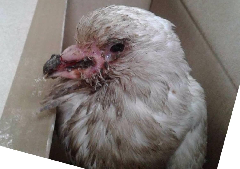 Болезни голубей и их лечение