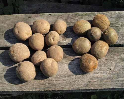 Описание сорта картофеля киви, его характеристика и урожайность