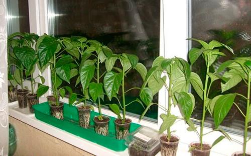 Правильная пикировка рассады томатов, перца, баклажан и цветов