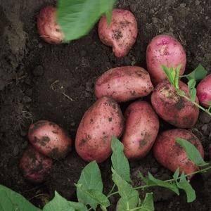Картофель семенной красавчик описание сорта