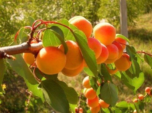 Когда и как правильно пересаживать абрикос