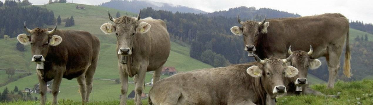 Холмогорская порода коров: описание, характеристика