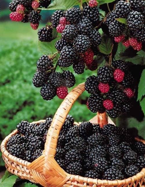 Малина кумберленд — описание сорта и его характеристики. особенности посадки и выращивания сорта малины (105 фото + видео)