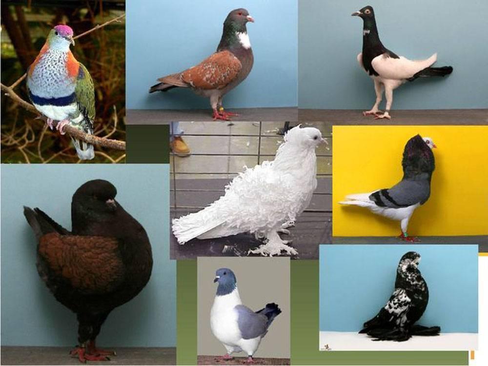 Как правильно разводить голубей?
