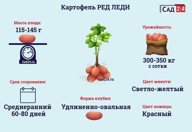 Агротехника выращивания картошки ред леди