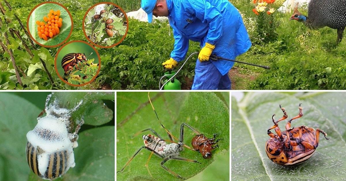 Колорадский жук. борьба с ним народными средствами и другими способами