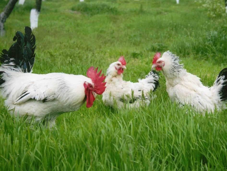 Адлерская порода кур: описание породы, содержание, продуктивность