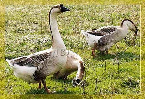 Итальянские гуси — описание породы