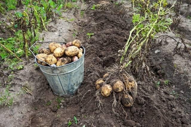 Среднеранний сорт картофеля с высокой урожайностью «санте»