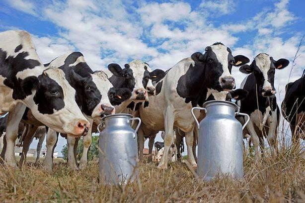 Раздой коровы: для чего нужен, схема и процесс дойки, массаж