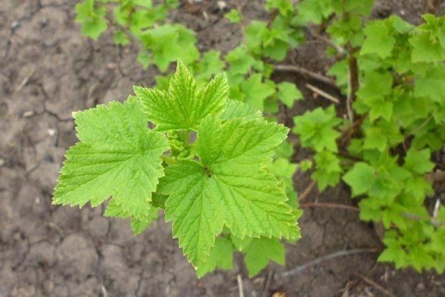 Сбор и ферментирование листьев смородины на зиму