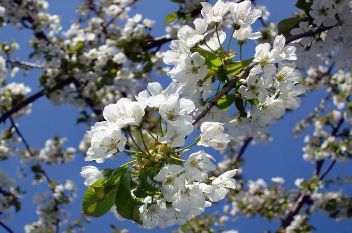 Частые причины, почему вишня не плодоносит, что с этим делать и меры борьбы