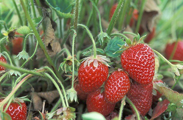 Клубника на Урале: посадка и выращивание