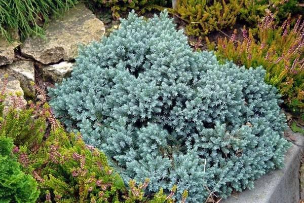 Можжевельник блю альпс — рекомендации по выращиванию